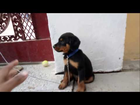 Rottweiler Cute Puppies Playing In India.