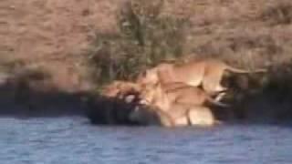 Буйволы против прайда львов