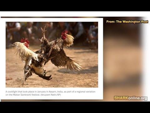 Cockfighting Cruelty, Corruption In Monterey County, California