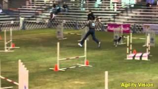 Rudy Agility Beagle At 2010 Invitational - Round 3