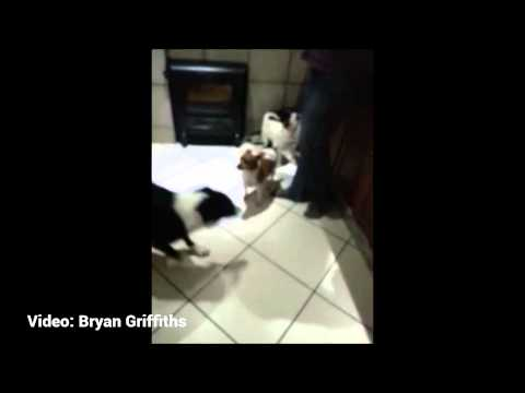 Dogs Singing To 7de Laan Theme Song Compilation