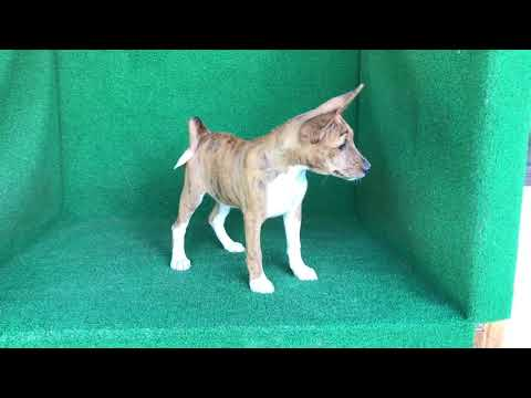 Brindle and White Female Basenji