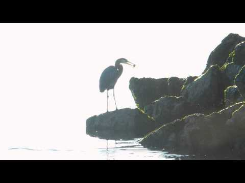 Powell River Blue Heron April 2016