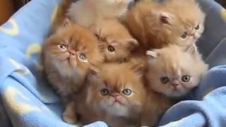 Супер прикольные Персидские котята