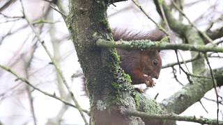 Red squirrel breakfast time @Harsha Red squirrel breakfast time #Redsquirrel #Sciurus vulgaris The red squirrel or Eurasian red squirrel is a species of tree squirrel in the genus Sciurus common throughout Eurasia