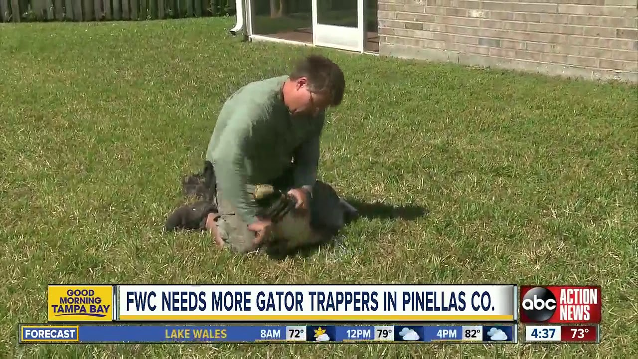 Download Fearless? Apply to become a FWC nuisance alligator trapper in Pinellas County