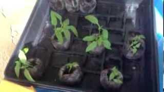 Como germinar cebollin y como hacer una bolsa para semillas - Aprendiendo con Ramsés