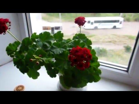 Герань цветет розочками