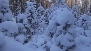 Промысловая охота на соболя в Сибири с лайкой