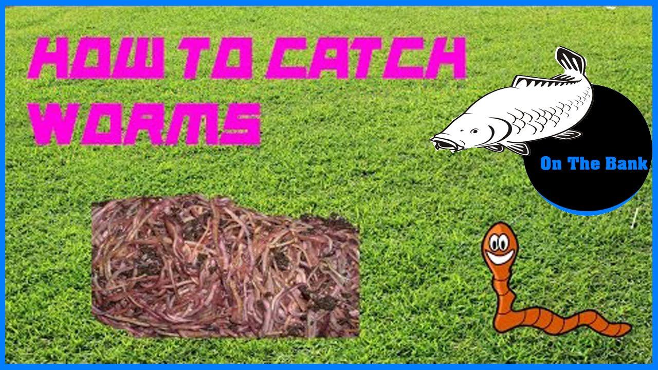 truffle worm how to catch