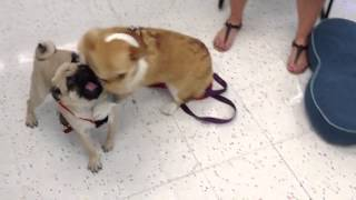 Pug And Corgi Playing