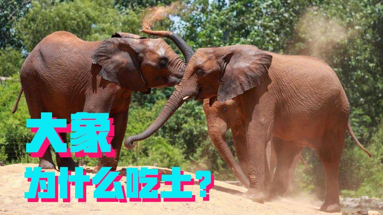 """又用不着还花呗,大象为什么还要""""吃土""""?【科学火箭叔】"""