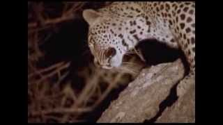John Varty shows a leopard that lost 3 kills in one night to scavengers