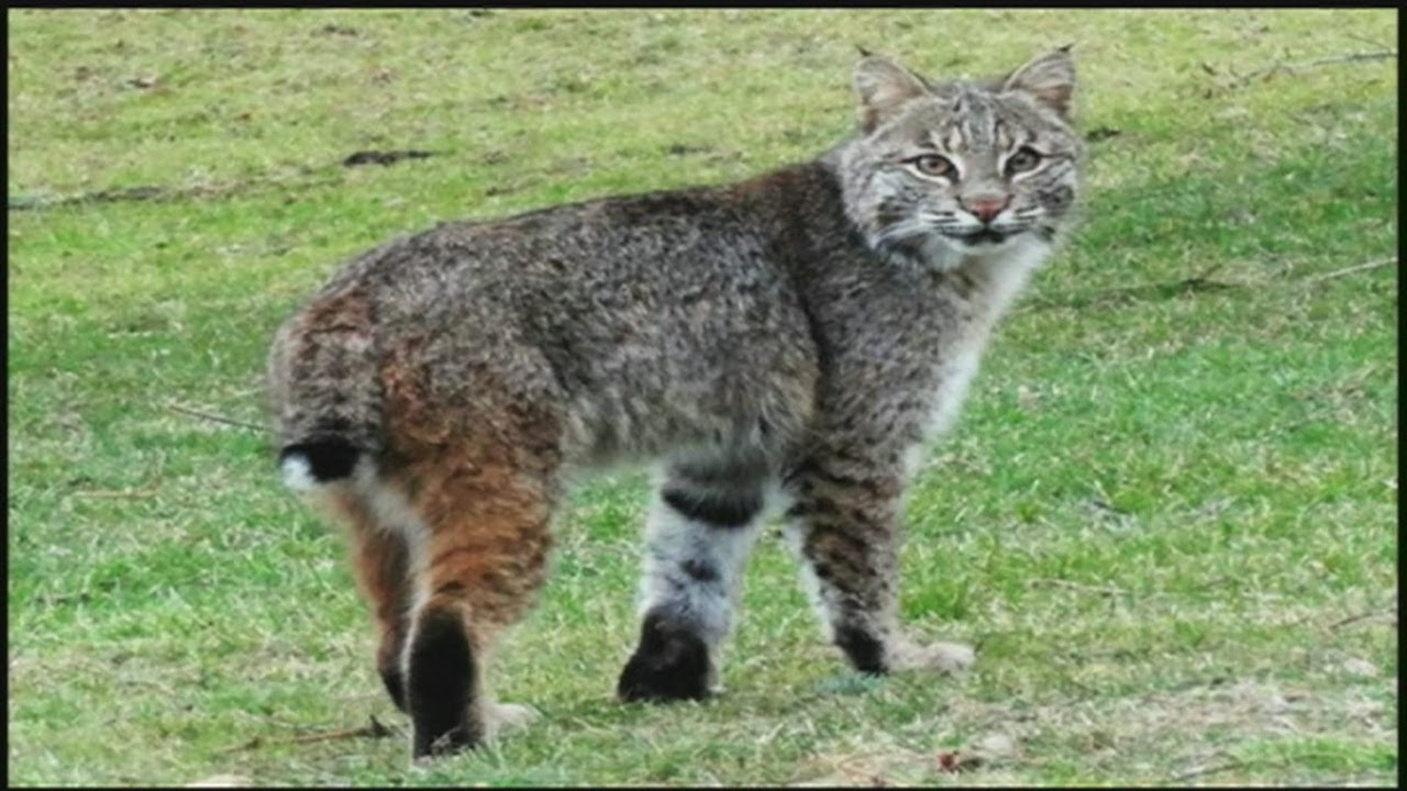 Bobcats Are On The Prowl Here In Western Massachusetts