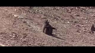Животные - прекрасные люди (1974). Бабуины - акробаты.