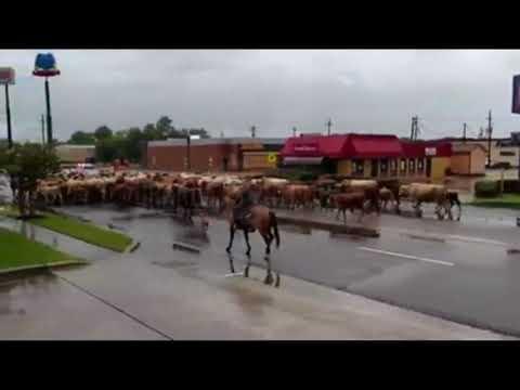 Hurricane Harvey Cattle Drive - August 2017
