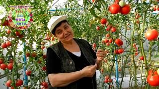 С такой подвязкой помидоров урожай просто БОМБА. Как подвязать томаты в теплице БЫСТРО? Лайфхаки