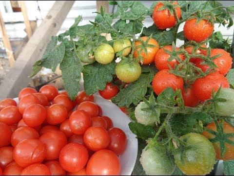 КАКОЙ УРОЖАЙ МОГУТ ДАТЬ ТОМАТЫ НА БАЛКОНЕ. Ольга Чернова. | огородная | чернова | томатов | балконе | урожай | томаты | огород | азбука | ольга | на