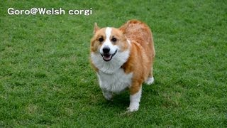 Goro Is Running On Grass. 20130803 Goro@welsh Corgi コーギー