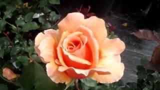 Just Joey - hybrid tea rose