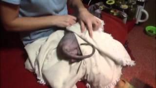 видео Как сделать, поставить укол кошке. Инъекции кошкам  правильно.