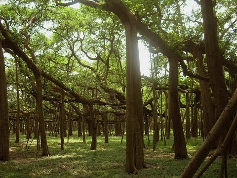 AJC Bose Indian Botanical Garden, Kolkata walk through | GREAT BANYAN TREE