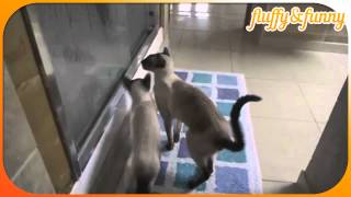 Our siamese cats at shower time, сиамские коты умываются