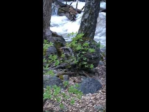 Hiker Sees Bear Crossing Treacherous River