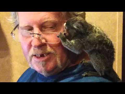 Marmoset monkey Gizmo loves daddy's glasses