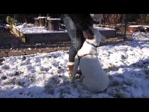 barnaby---labrador-retriever-/-pit-bull-mix-adoptable-dog
