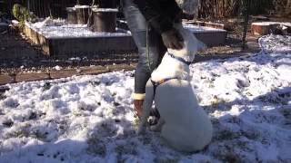 Barnaby - Labrador Retriever / Pit Bull Mix Adoptable Dog