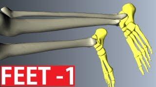 Foot Anatomy - Bones of the Foot - Anatomy Tutorial Part 1
