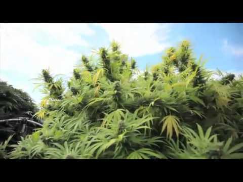 jorge cervantes jardines de cannabis medicinal youtube