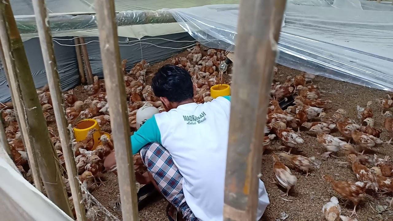 Ayam petelur umur 5 minggu - YouTube