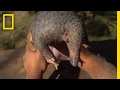 The Tragic Tale of a Pangolin, the World's Most Trafficked Animal | Short Film Showcase