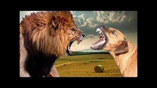 精巧なハンター、Rhodesian Ridgebackは狩りでは猛烈ですが、家庭では静...
