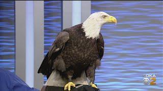 National Aviary Introduces Flinn The Bald Eagle