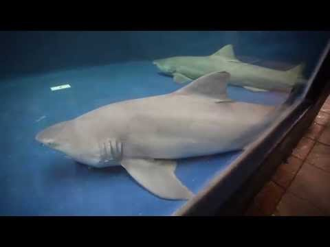 National Marine Aquarium Takes Delivery Of Two Lemon Sharks