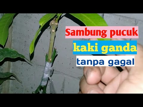 Tips memilih bibit mangga from YouTube · Duration:  5 minutes 9 seconds