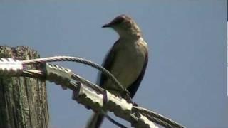 Calls of the Northern Mockingbird
