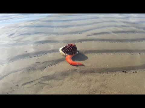 What lives inside seashells - Clam opens mouth