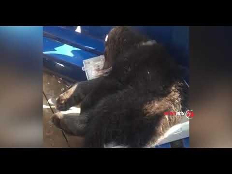 Медвежью семью сбил железнодорожный состав под Хабаровском
