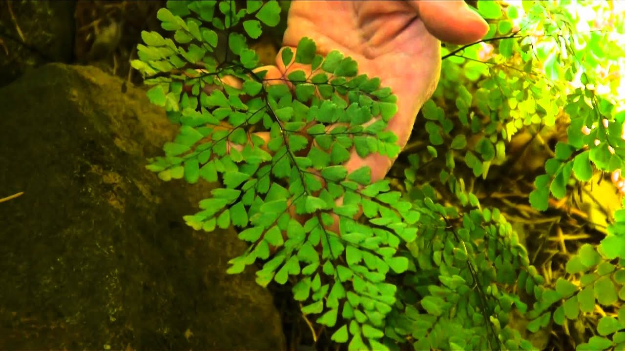 Growing Amp Caring For Foliage Plants Southern Maidenhair