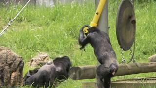 多摩動物公園 チンパンジー 2017年7月撮影 Chimps at Tama Zoological P...