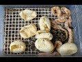 Eclosion / Sexage des naissances Python regius (Albinos / het Albinos)