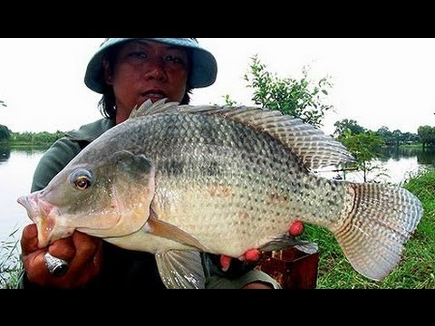 Bali trip tilapia farming gopro hero3 hd youtube for Tilapia fish farming