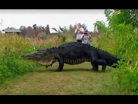 "15 foot Giant Alligator named ""Hunchback"" spotted in Florida"