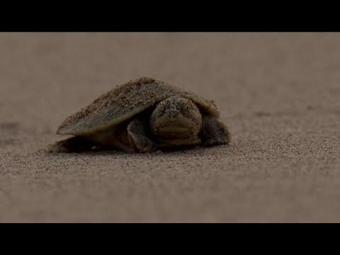 السلاحف في غابات الأمازون.. حياة محفوفة بالمخاطر!  - نشر قبل 12 ساعة
