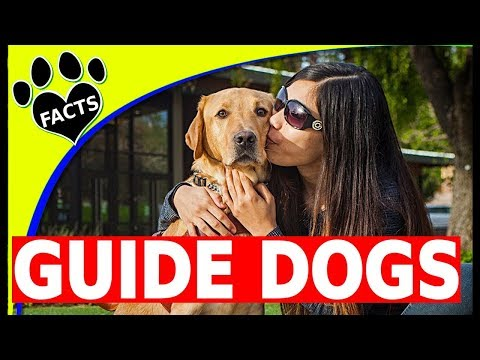 Top 5 Service Dog Breeds Guiding the Blind - Guide Dogs 101 - Animal Facts