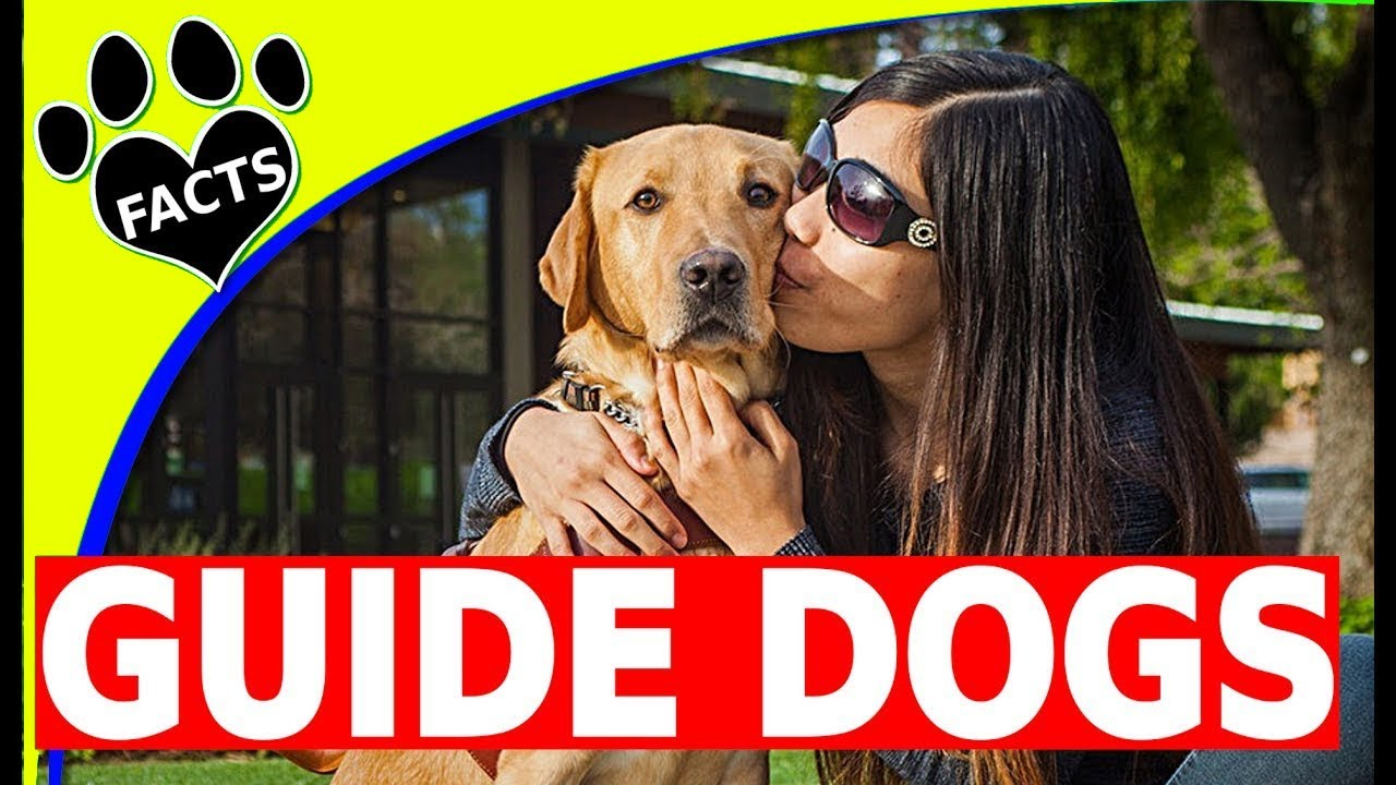 Service Dogs: Top 5 Service Dog Breeds Guiding the Blind - Guide Dogs 101 - Animal Facts